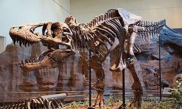 Tooth Broken Off In Prey's Tail Shows Failed T. Rex Hunt