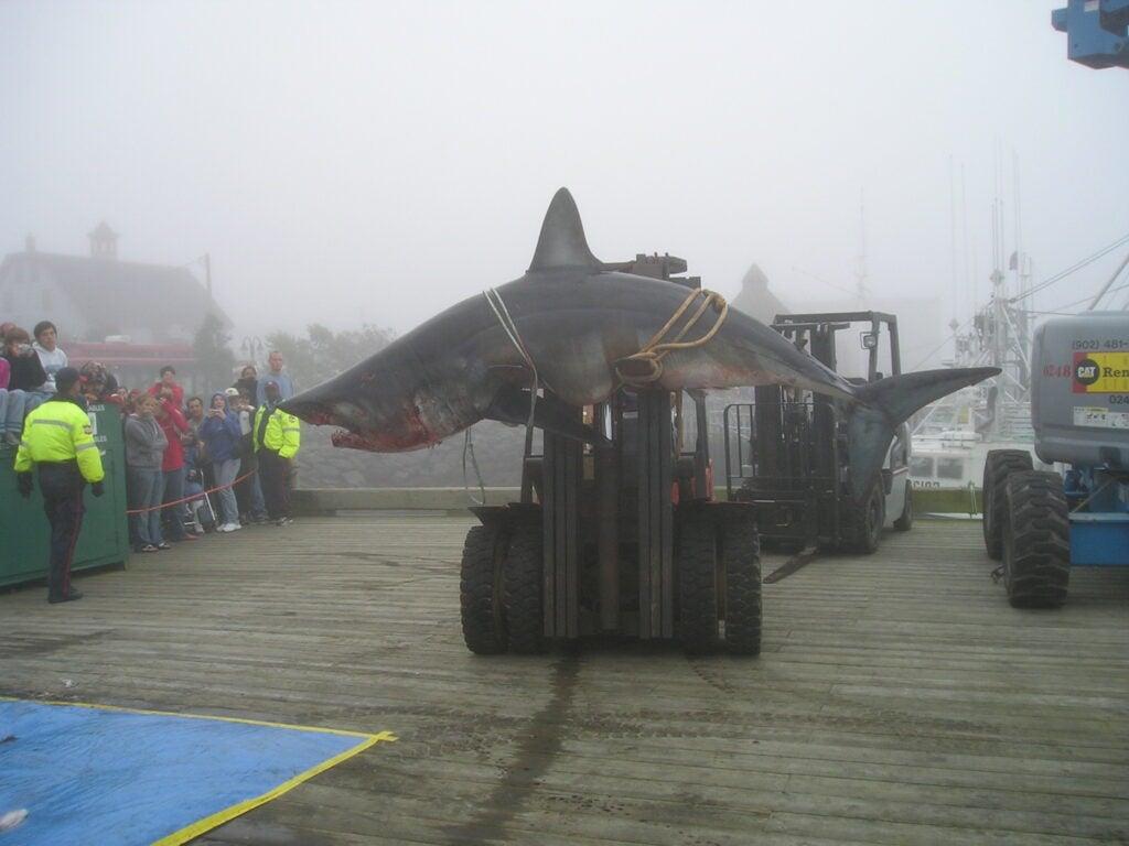 caught mako shark