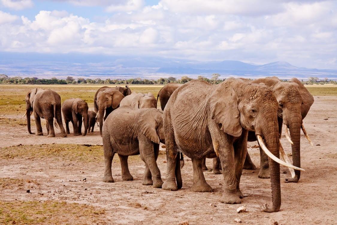 Wild elephants will sleep when they're dead