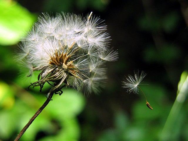 Dandelion fluff makes a surprisingly effective parachute