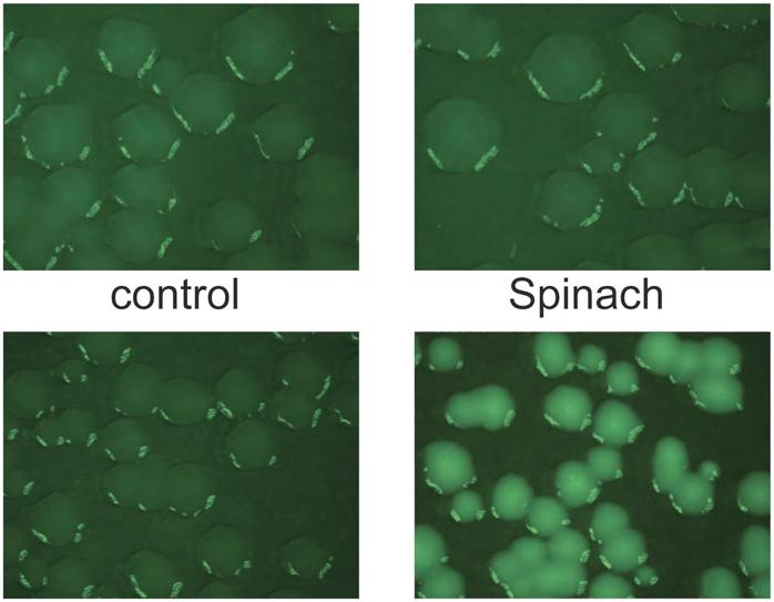 New Fluorescent 'Spinach' Molecule Illuminates Inner Workings of RNA