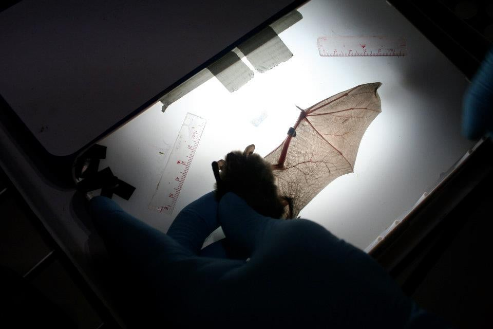 White Nose Syndrome In Bats Could Yield Clues About AIDS