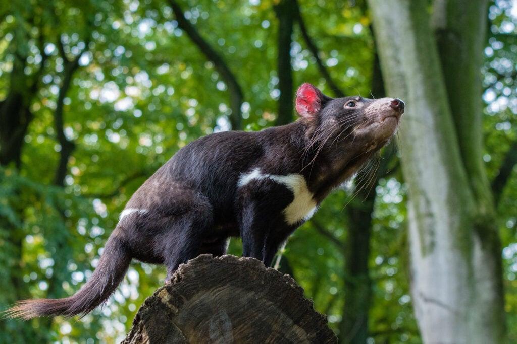 tasmanian devil on tree