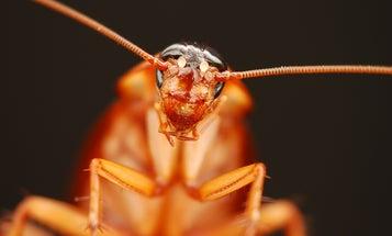 Roach Milk: The Next Superfood?