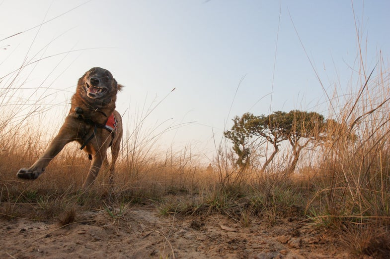 This is Pepin, a dog on a mission in the Serengeti.