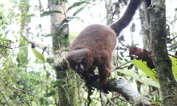 Cuddling up may keep red-bellied lemurs healthy