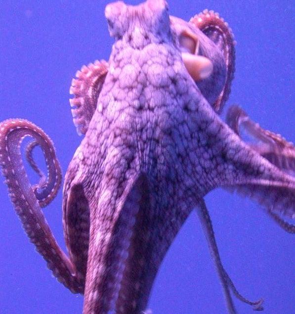 Octopuses Choose Favorite Tentacles