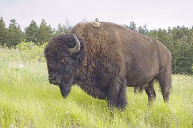 The American Bison May Become The National Mammal Of The U.S.