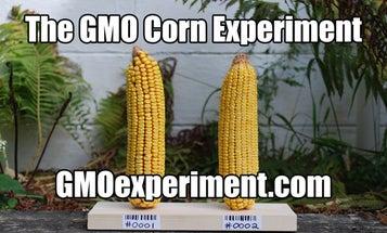 The GMO Corn Experiment