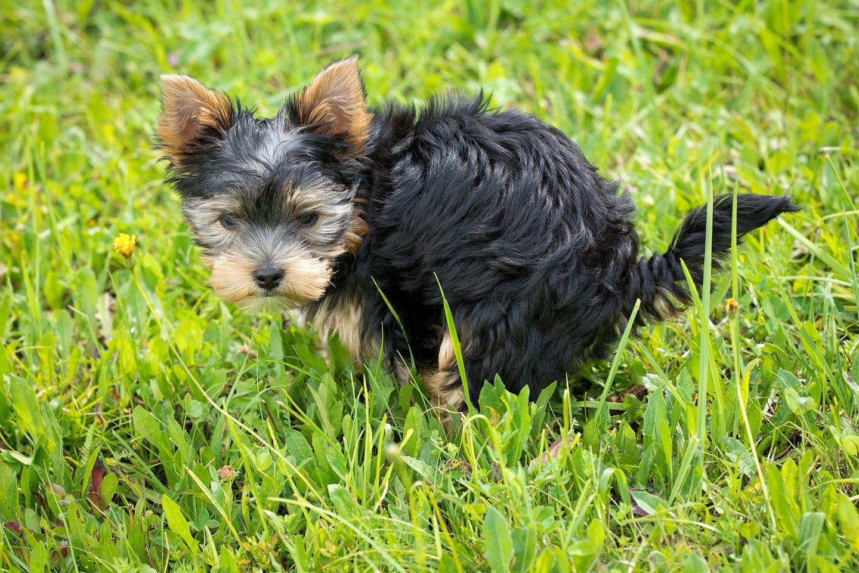 Yorkshire terrier pooping