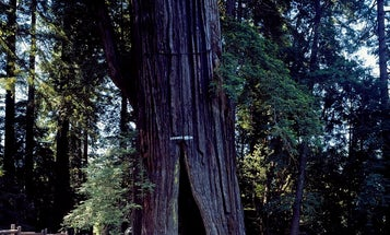 Asian dust might be the secret to keeping California's sequoias alive