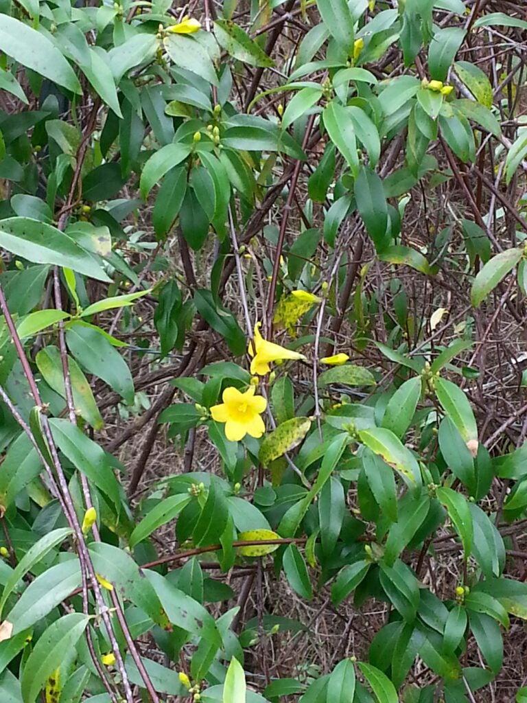 Honeysuckle vine blooming in Moulton, Alabama on December 27
