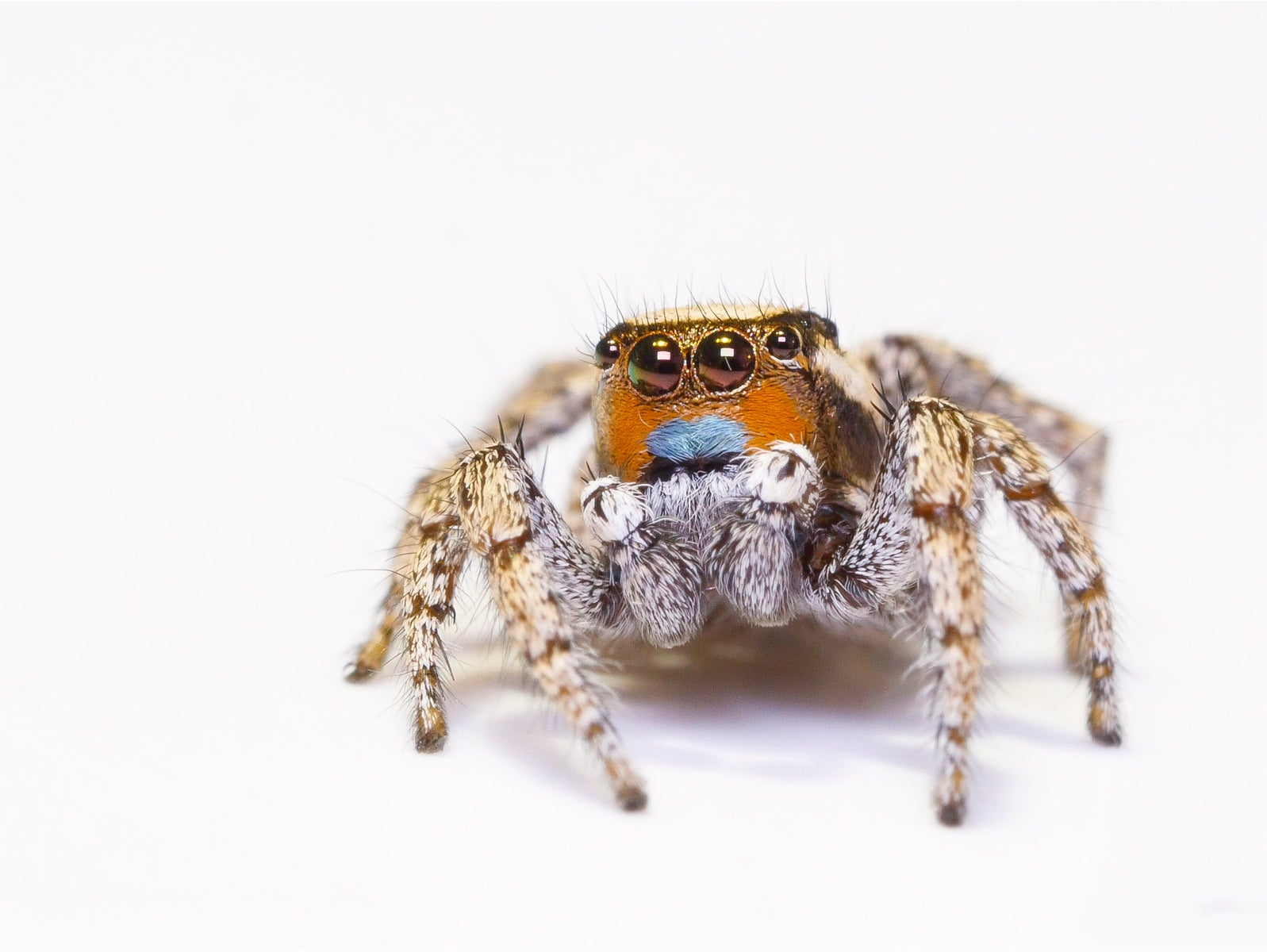 Jumping Spiders See In Technicolor