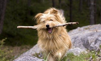 Fetching Sticks May Injure Dogs, Claim Vets