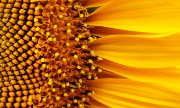 What's the Most Efficient Design For a Solar Collector? Shape It Like a Sunflower