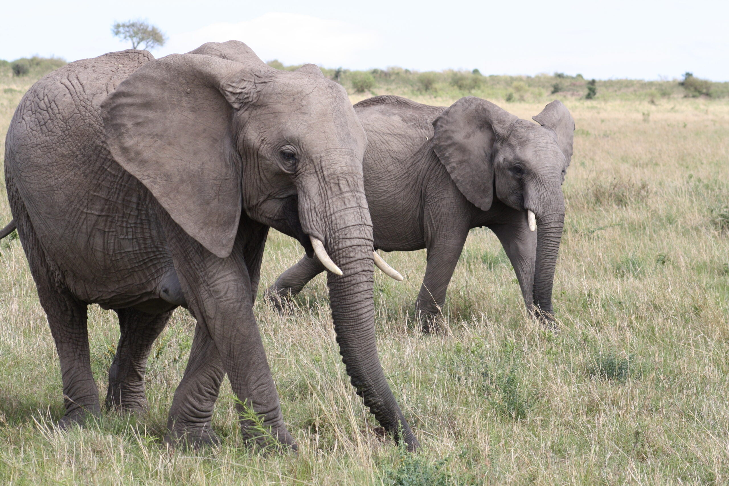 Elephants Able To Detect Rainstorms 150 Miles Away