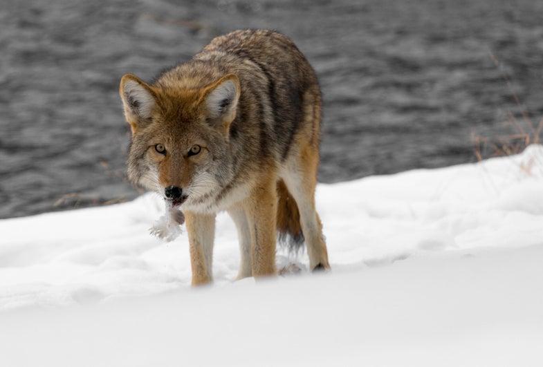 California Bans Coyote Hunting Contests