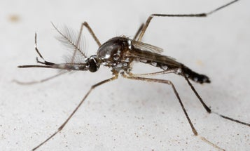 How many mosquitoes can you squish into a syringe? Scientists may finally have an answer.