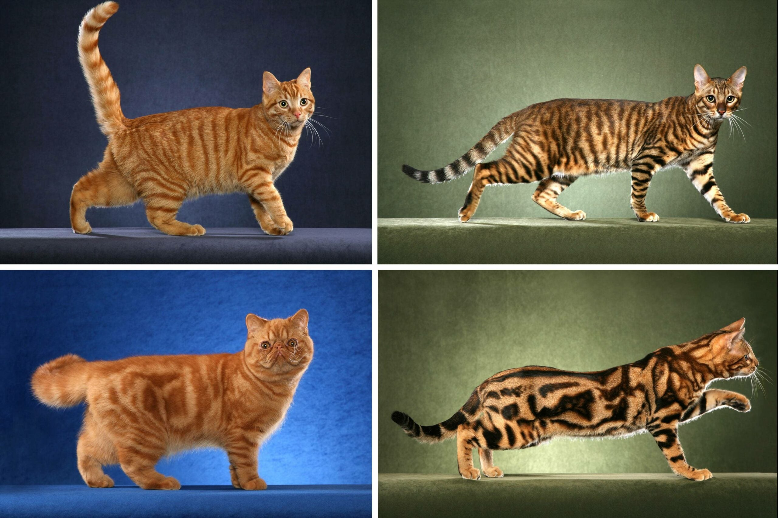One Gene Lays The Blueprint for A Cheetah's Spots And A Tabby Cat's Stripes