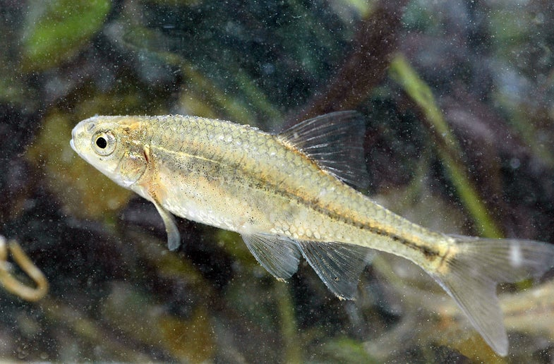 Oregon Chub First Fish To Swim Off Endangered Species List