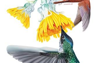 Endangered Hummingbird Illustration Highlights The Delicateness Of Biodiversity