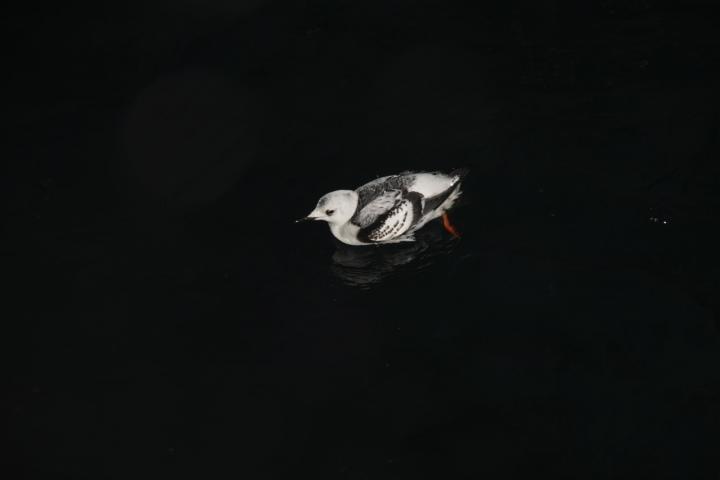 A black guillemot