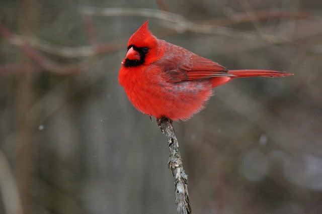 Cardinals Slow West Nile Virus's Spread In Atlanta