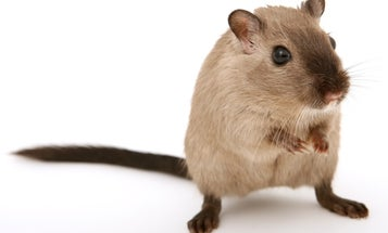 Low doses of weed may help old mice learn new tricks