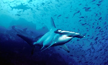 Cuba's pristine reefs are ideal for spotting great hammerhead sharks