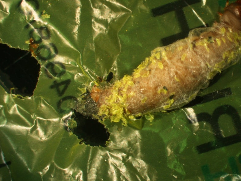 These caterpillars chow down on plastic bags
