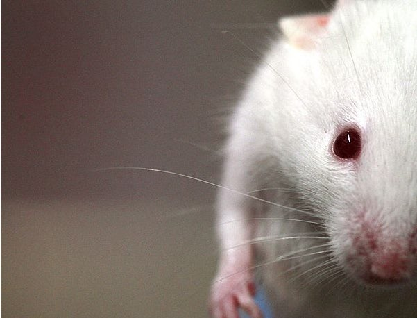 Drug Cures Mice Of Down Syndrome With A Single Dose