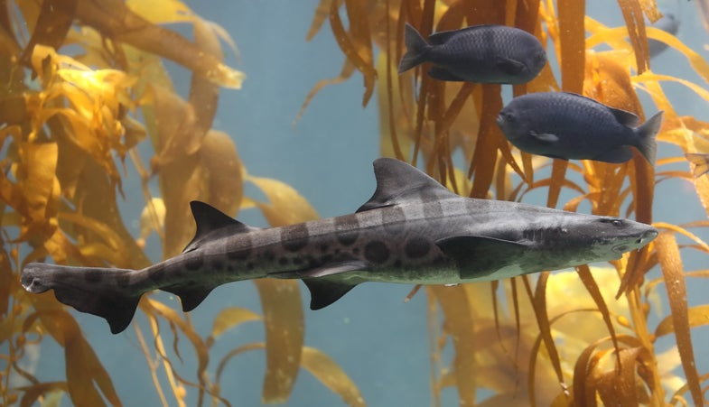 Leopard Sharks Use Their Nose To Navigate Long Distances