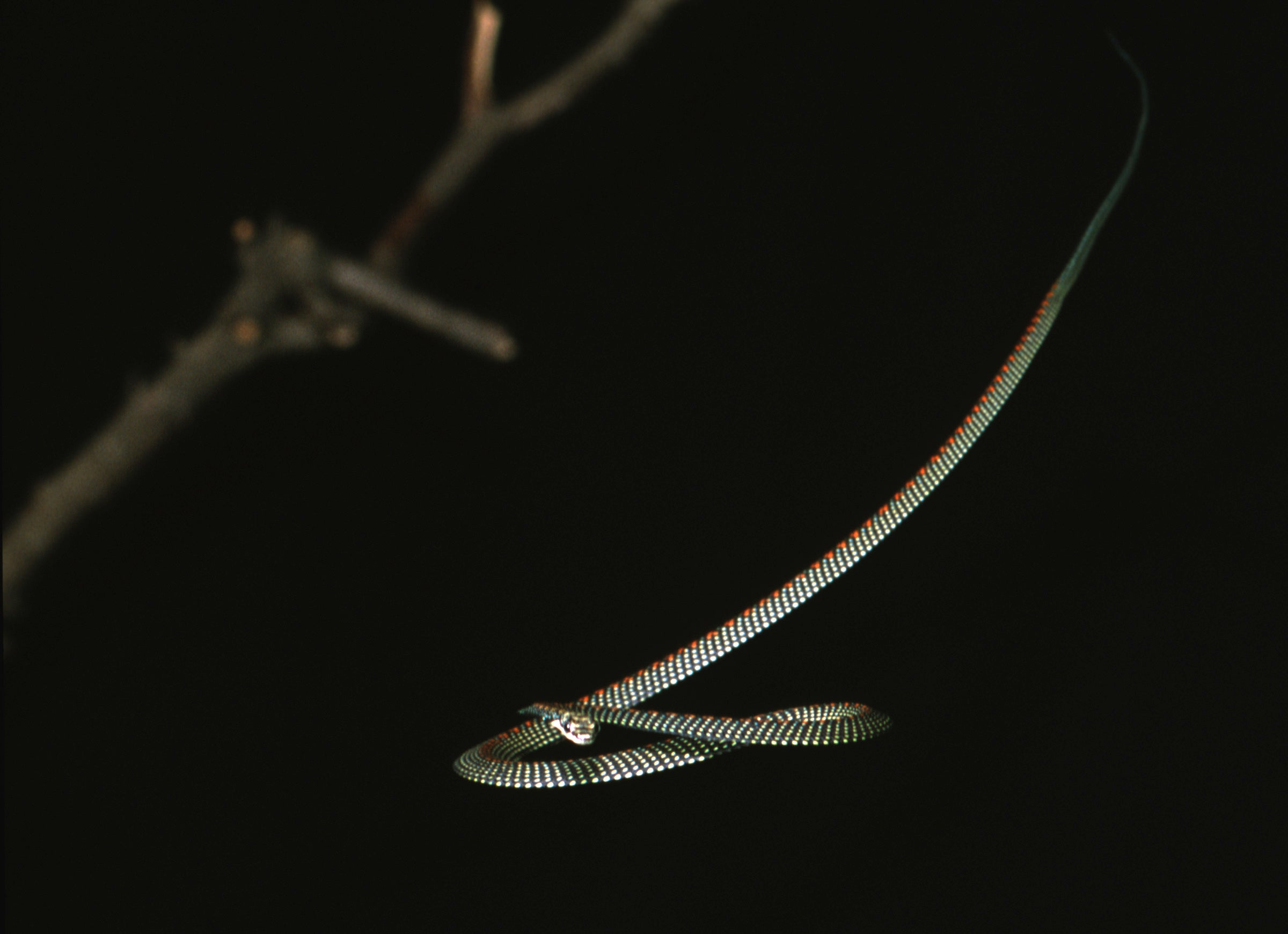 Watch Flying Snakes: They Don't Need A Plane