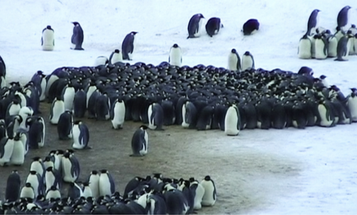 Just One Penguin Could Break Up A Huddle