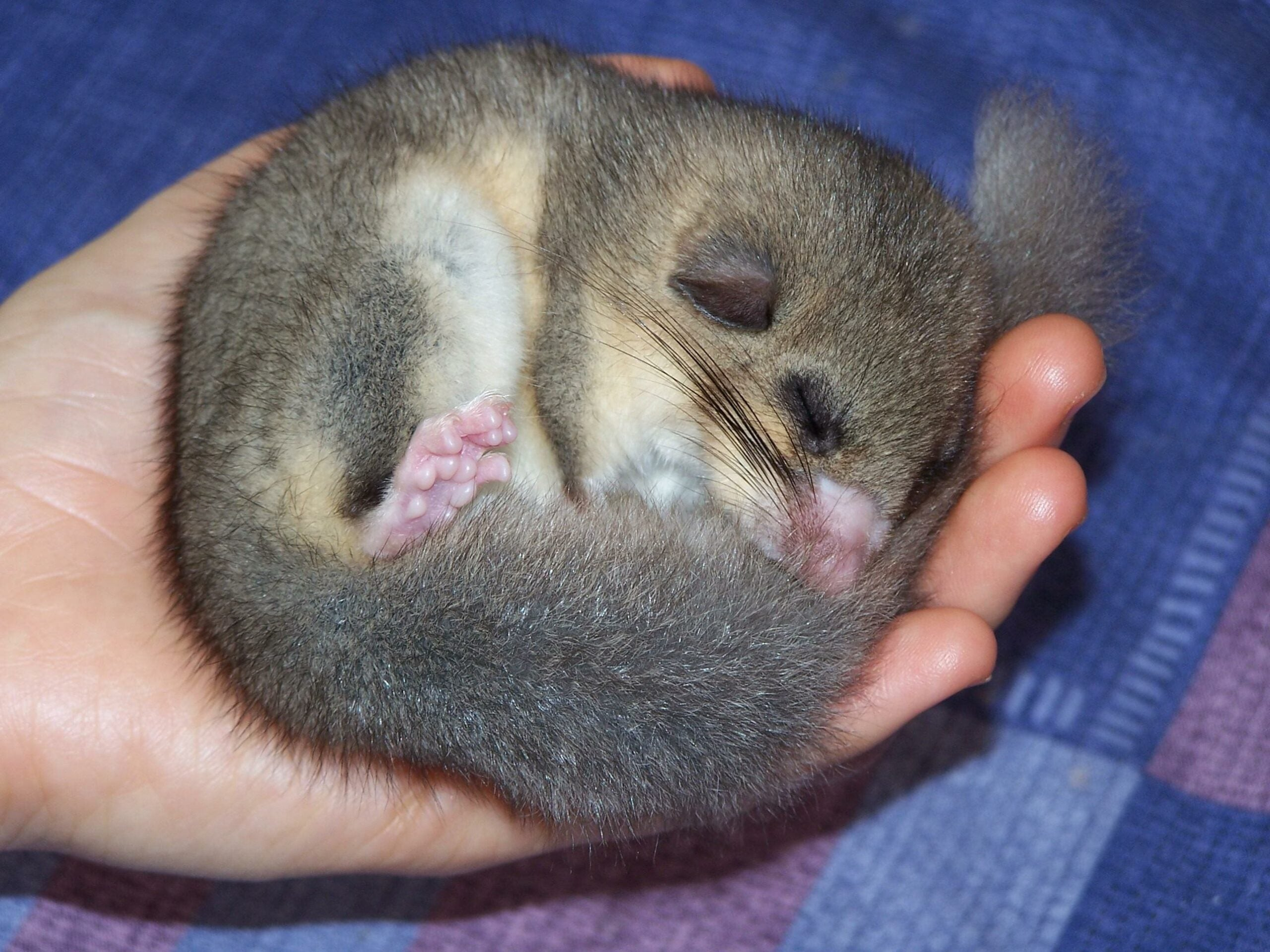 Sleepy Dormice Break Wild Hibernation Record At 11 Months