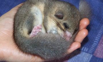 Sleepy Dormice Break Wild Hibernation Record At 11 Months