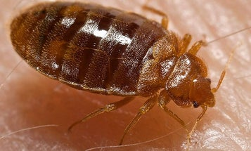 """Bedbugs Are """"Liberated"""" in Southwestern China"""