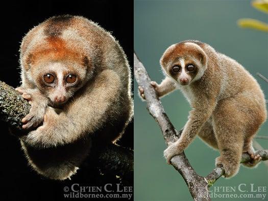 New Venomous Primate Species Discovered In Borneo