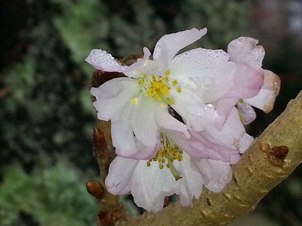 Cherry blossoms in Narragansett, Rhode Island, on December 23