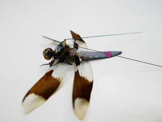 Want To Study A Dragonfly? Put A Teeny Backpack On It