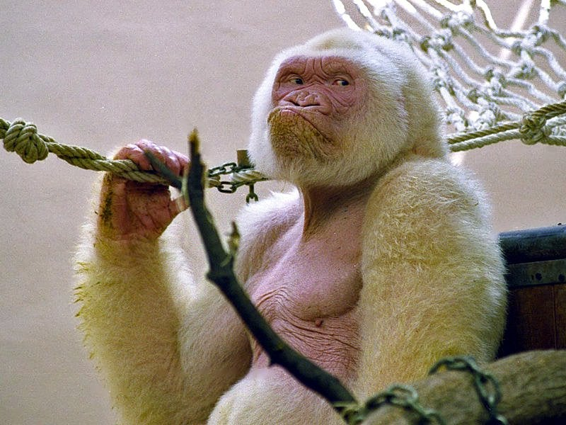 The World's Only Known White Gorilla Was The Result Of Incest