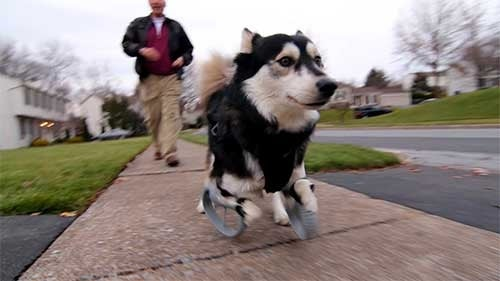 How 3-D printing made the perfect prosthetic legs for Derby the dog