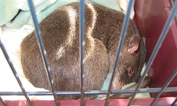 Giant Rats Can Detect Tuberculosis With Greater Accuracy than a Microscope Test