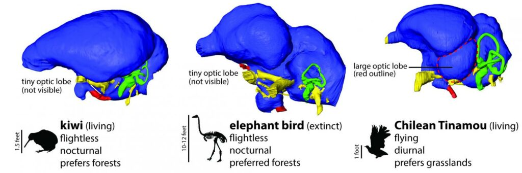 elephant bird optic lobe