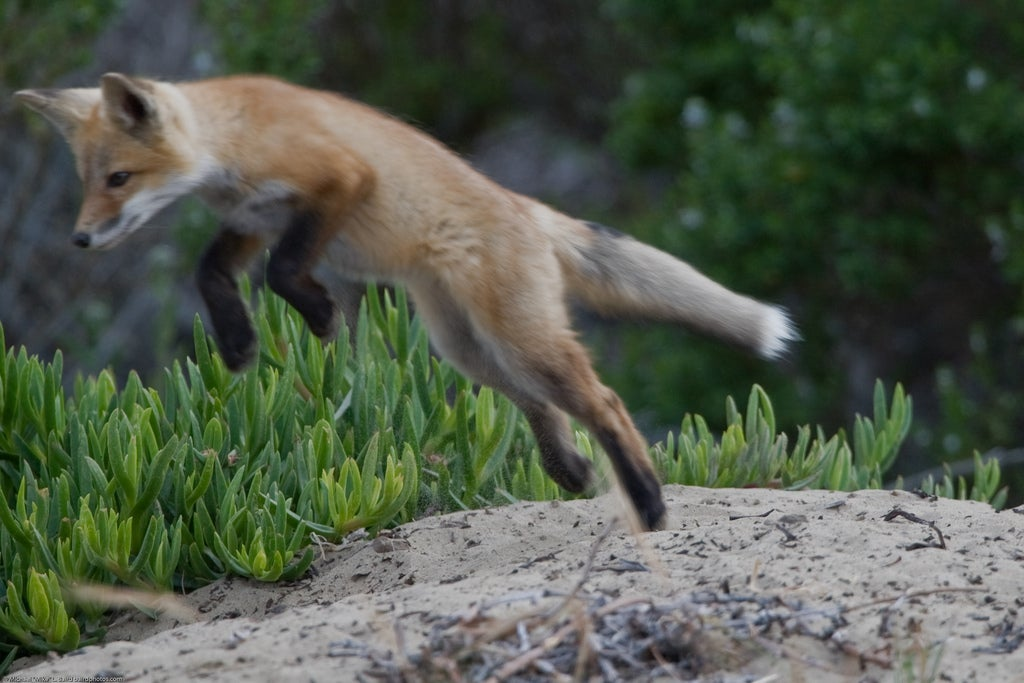Foxes Use Earth's Magnetic Field To Hunt Prey, Scientists Say
