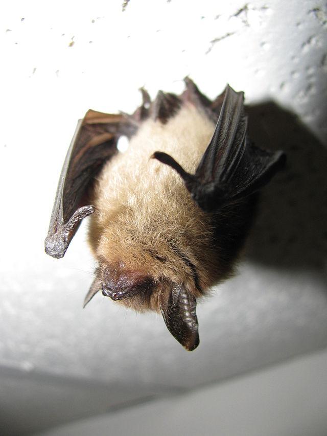 How A Tiny Bat Might Interrupt A Massive Oil Pipeline