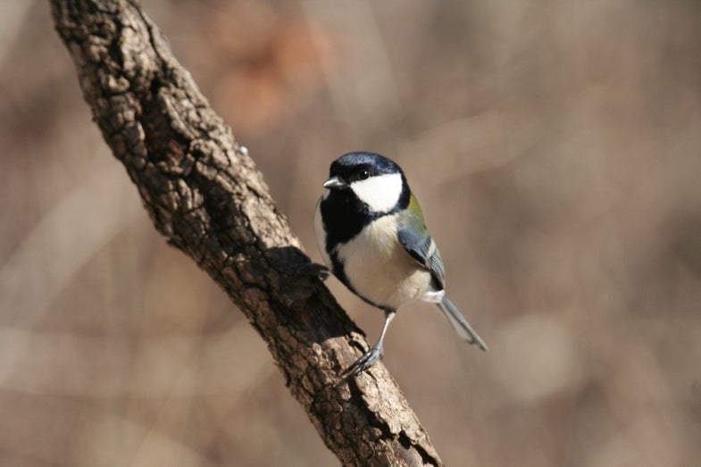 These Songbirds Can Speak To Each Other Like Humans Do