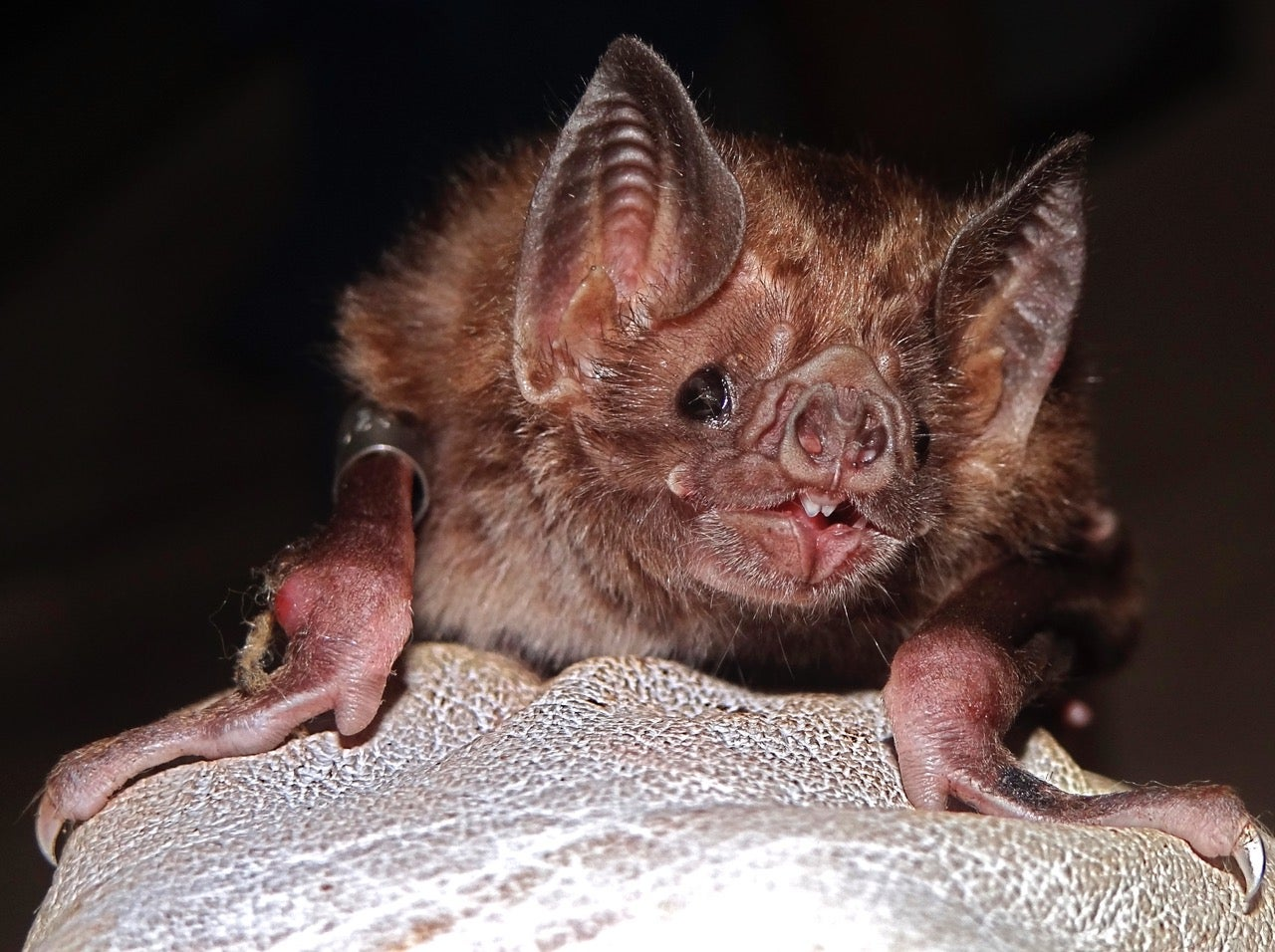 Vampire bats could soon swarm to the United States
