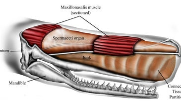 Diagram Of A Sperm Whale Head