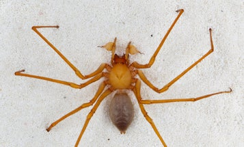 Giant Cave Spider Discovered in Oregon